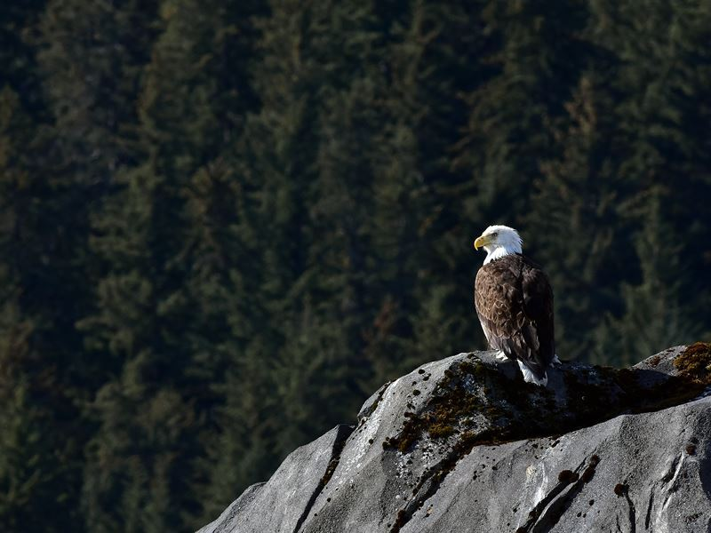 american bald eagle seward alaska