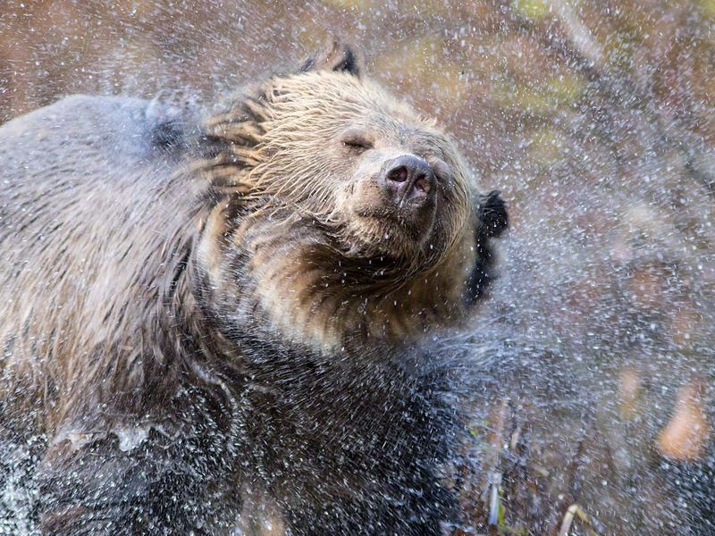 bear shaking water off its fur great bear lodge