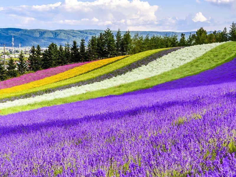 beautiful flower fields hokkaido