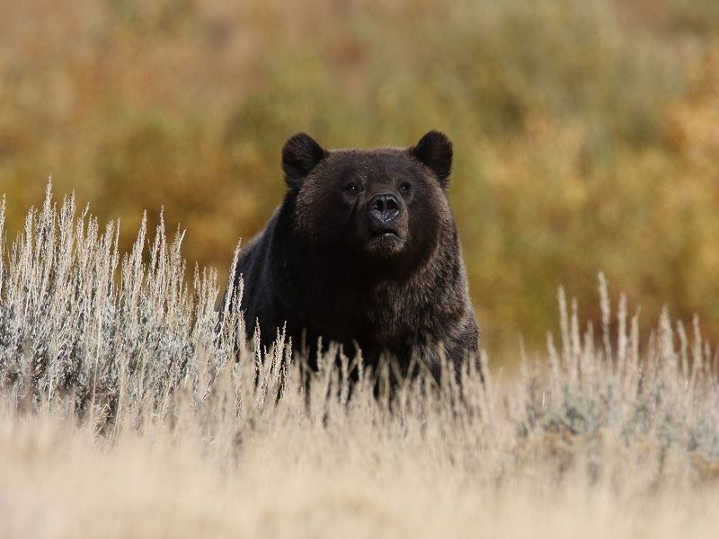 black bear in yellowstone np