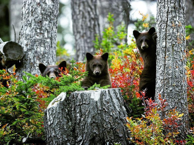 black bears whistler