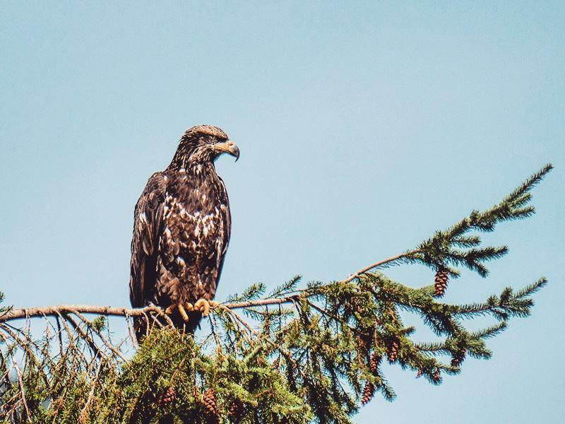 deep cove eagle