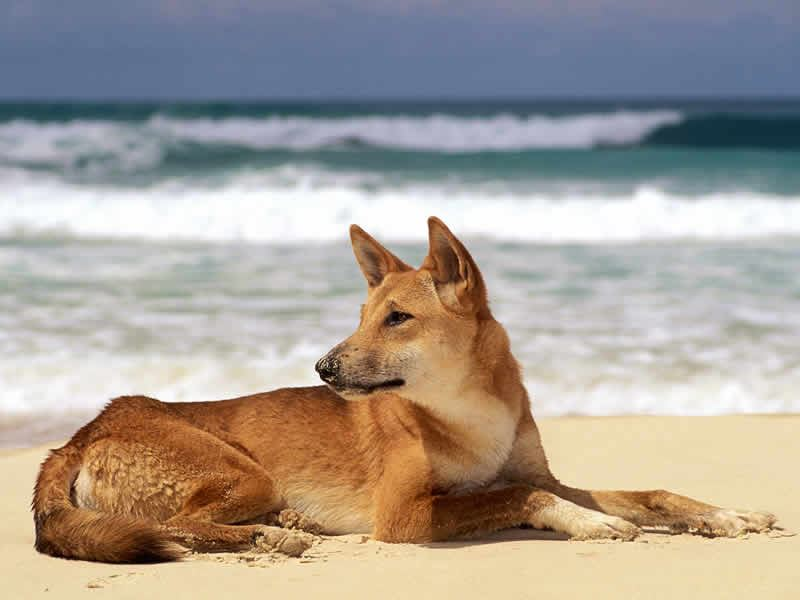 dingo dog fraser island queensland australia