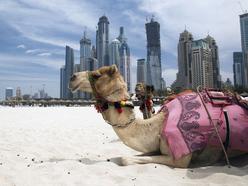 dubai camel on the beach