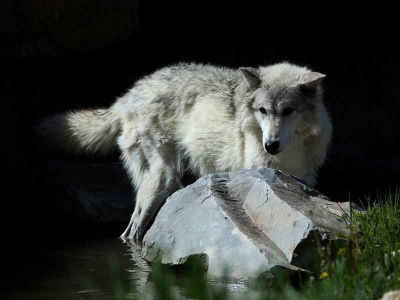 endangered grey wolf yellowstone