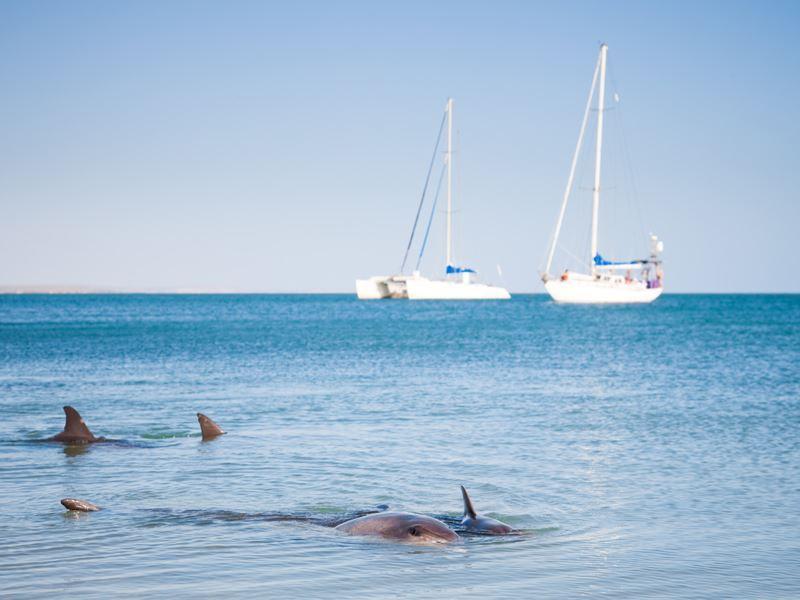 monkey mia dolphins western australia