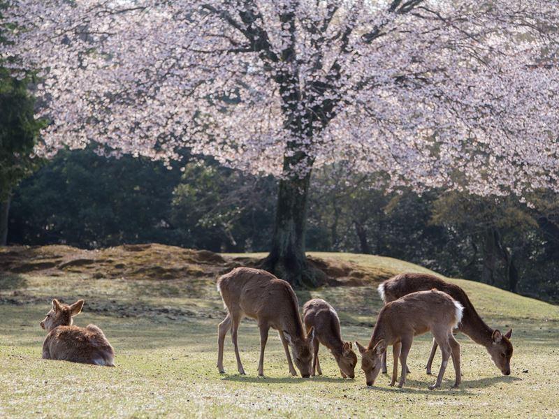 nara park spring japan