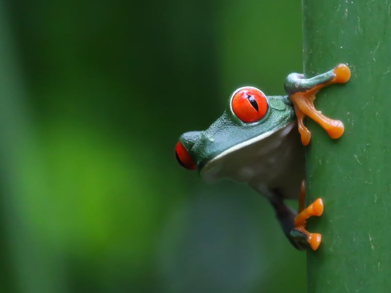 red eyed tree frog tortuguero costa rica