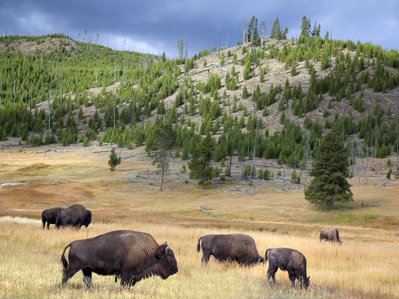 wild buffalo roam in yellowstone