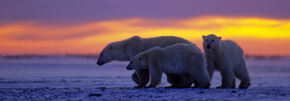 Canadian family of polar bears
